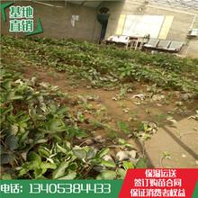 石龙镇草莓苗价格章姬草莓苗哪家便宜图片