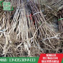 今年山楂苗价格2018大棉球山楂苗的电话图片