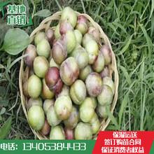 2018李子苗批发价脆红李子树苗品种纯正图片