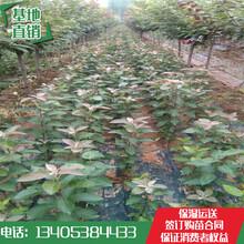 红肉苹果苗价格矮化m26砧木苹果苗好栽植好成活图片