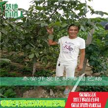 元丰核桃苗哪有卖的8518核桃苗优良品种图片