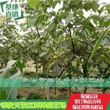广东纸皮核桃苗根系发达图片
