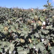 新疆高产棉花种子棉花新品种华农16号图片