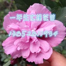 江苏当年生木槿树苗白花木槿数量多红花木槿粉花木槿图片