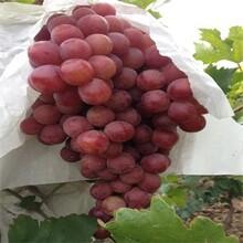 陕西红提葡萄价格10克以上内外全红红提葡萄代办图片