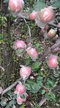 红富士苹果价格陕西膜袋红富士苹果今日价格图片