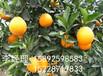 云南橙子苗价格,云南橙子苗产量,云南橙子苗批发