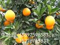 甘肃蜂糖李品种管理甘肃蜂糖李的品种介绍图片
