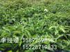 贵州培育李子苗基地凯里市李子苗种植技术凯里市嫁接李子苗苗圃