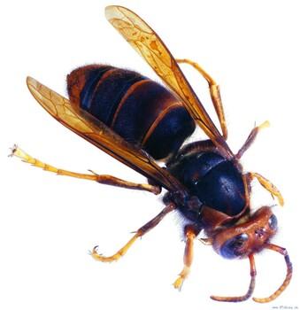 盐田马蜂窝处理摘除马蜂窝,专业清除马蜂窝摘除马蜂