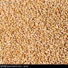 卫世养殖公司求购玉米高粱大米小麦图片