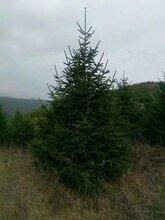 高2米3米以上云杉出售-甘肃云杉图片