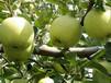 云南昭通苹果青苹果青香蕉青金帅昭通早熟苹果之清丽佳人
