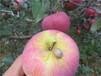 云南昭通苹果批发2001红富士苹果昭通苹果早熟苹果之王