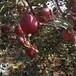 云南昭通苹果批发正宗红富士苹果昭通苹果丑苹果晚熟冰糖心苹果