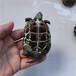 金线草龟中华草龟苗招财宠物龟纯正外塘养殖背甲7~9厘米