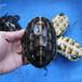 中华花龟和中华草龟有什么区别怎样区分花龟和草龟