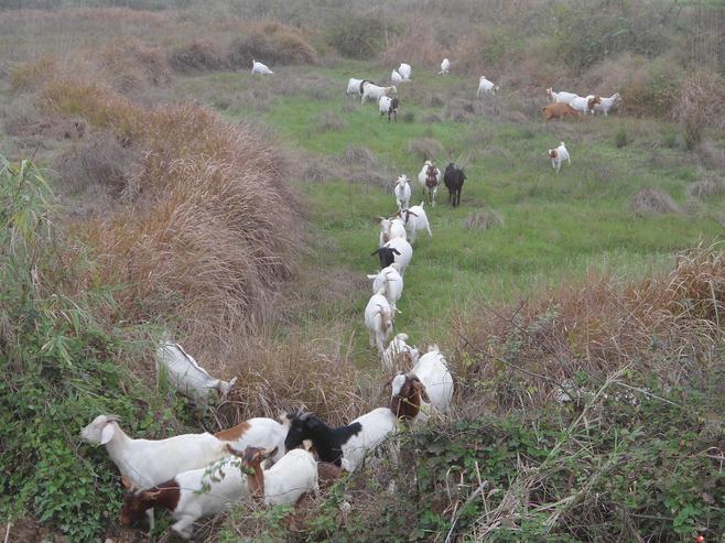 【自取视频腔黄页北京出售】_羊肉88网欧美山羊图片