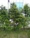 常年供应红豆杉树供应批发红豆杉盆栽