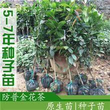6到7年防城金花茶原生树种子苗带盆发货特价包邮今年或者明年开花的金花茶树苗盆栽