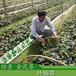 高30-70厘米防城金花茶树苗价格广西防普金茶花苗批发免费提供茶花种植技术