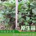 高20到50厘米防城金花茶种子苗广西珍稀名贵金花茶树苗盆栽零售包邮