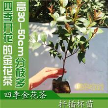 高30-60cm四季金花茶扦插杯苗批发零售广西金花茶种植基地