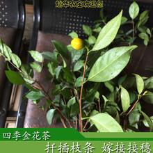 崇左四季金花茶扦插嫁接枝条出售四季金花茶特点花期长成型快容易种养