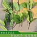 黄抱茎金花茶嫁接苗扦插苗原生树苗盆栽枝条出售广西金花茶种植基地