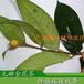 毛瓣金花茶树苗价格出售隆安毛瓣金花茶扦插嫁接枝条当年顶端枝条