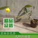 显脉金花茶价格显脉金花茶介绍广西金茶花种植基地供应金花茶树苗盆栽