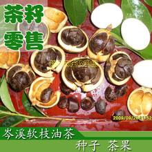 岑溪软枝油茶苗一年实生苗软枝油茶树苗广西高产油茶苗批发