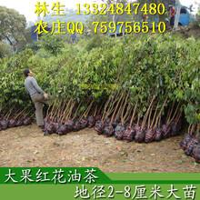 藤县大果红花油茶树多少钱一株,怎么汇款?几天内到?