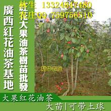 中国大果红花油茶简介大果红花油茶价格大果红花油茶树图片欣赏