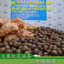 广西红花油茶苗价格藤县天平大果油茶树一年发几次新稍?