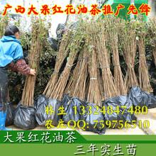 广西藤县大果红花油茶简介红花油茶树苗价格