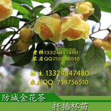 金花茶盆景图片广西防城金花茶树苗盆栽盆景图片欣赏