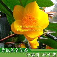 广西金花茶种子苗与扦插苗有什么区别金花茶种植金花茶价格