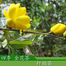 广西金花茶形态特征及茶花高产栽培种植管理要点