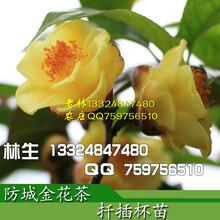 种植哪一个品种规格的金花茶树苗成本低