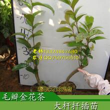 金花茶树苗价格毛瓣金花茶的形态特征毛瓣金花茶图片欣赏