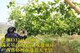 黄金百香果图片和价格广西盛林农业黄金百香果苗供应