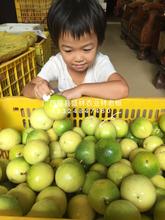 广西梧州黄金百香果苗价格黄金百香果种苗批销