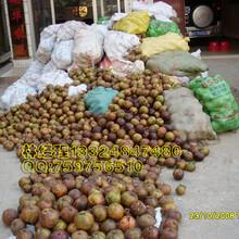 广西藤县盛林农业大果红花油茶树图片