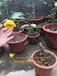 广东哪里有四季开花的金花茶品种崇左四季金花茶树苗价格