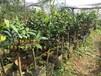 毛瓣金花茶药用价值隆安毛瓣金花茶树苗盆栽盆景价格