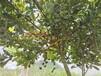 澳洲坚果树苗价格澳洲坚果嫁接苗多少钱一株广西澳洲坚果种植