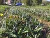 澳洲坚果苗价格澳洲坚果几年可以挂果澳洲坚果苗多少钱一棵