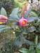 越南抱茎茶价值越南抱茎茶价格越南抱茎红山茶开花图片