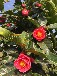 越南抱茎茶花栽培种植技术越南红抱茎山茶扦插育苗抱茎茶花价格